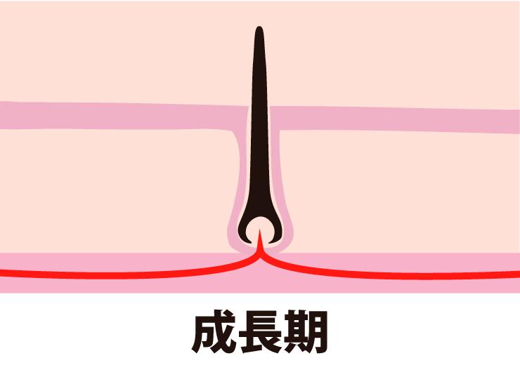 毛周期ー成長期