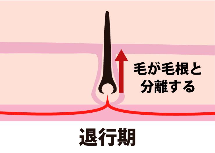 毛周期ー退行期