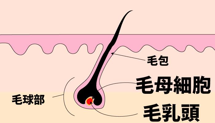 毛母細胞と毛乳頭